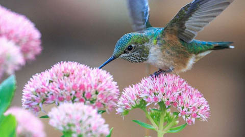 How do male hummingbird dance moves alter their appearance?